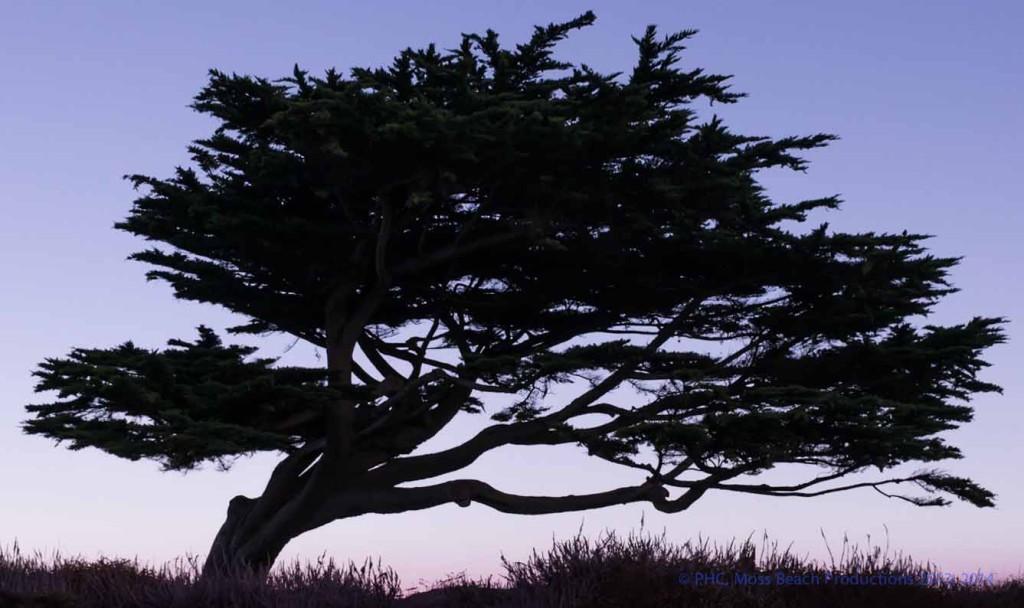 Majestic Californian Cypress